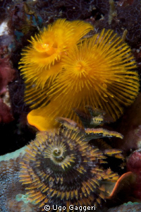 Christmas tree worms (Puerto Galera). by Ugo Gaggeri 